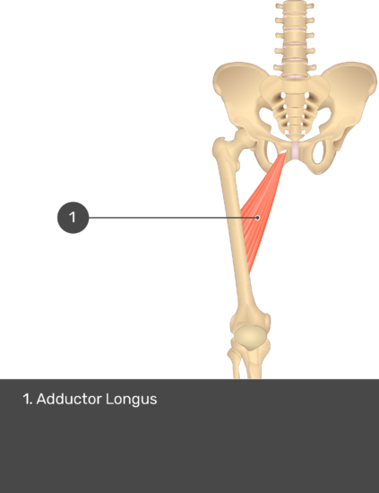 A quiz image of the anterior view of the thigh, pelvis and lower section of the vertebral column. The muscles of the anterior thigh are numbered 1 to 9. The answers revealed at the bottom are as follows 1. Adductor Longus.