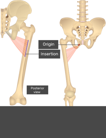 A quiz image of the anterior view of the thigh, pelvis and lower section of the vertebral column showing the origin of Adductor Brevis at the lateral (outer) surface of inferior ramus of pubis and the insertion at Proximal portion of linea aspera.