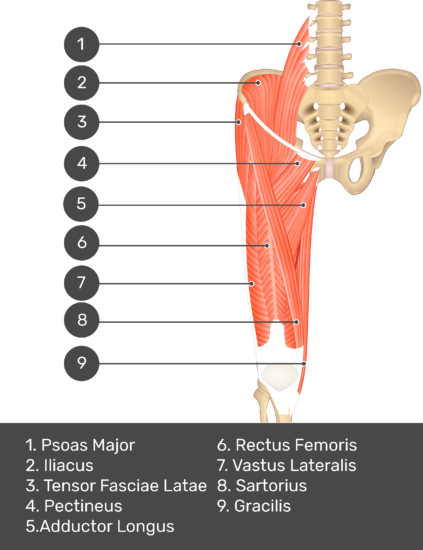 A quiz image of the anterior view of the thigh, pelvis and lower section of the vertebral column. The muscles of the anterior thigh are numbered 1 to 9. The answers revealed at the bottom are as follows 1. Psoas Major 2. Iliacus 3. Tensor Fasciae Latae 4. Pectineus 5. Adductor Longus 6. Rectus Femoris 7. Vastus Lateralis 8. Sartorius 9. Gracilis.
