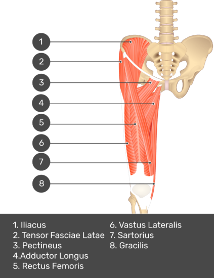 A quiz image of the anterior view of the thigh, pelvis and lower section of the vertebral column. The muscles of the anterior thigh are numbered 1 to 7. The answers revealed at the bottom are as follows 1. Tensor Fasciae Latae 2. Pectineus 3. Adductor Longus 4. Rectus Femoris 5. Vastus Lateralis 6. Sartorius 7. Gracilis.