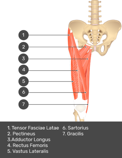 A quiz image of the anterior view of the thigh, pelvis and lower section of the vertebral column. The muscles of the anterior thigh are numbered 1 to 9. The answers revealed at the bottom are as follows 1. Tensor Fasciae Latae 2. Pectineus 3. Adductor Longus 4. Rectus Femoris 5. Vastus Lateralis 6. Sartorius 7. Gracilis.