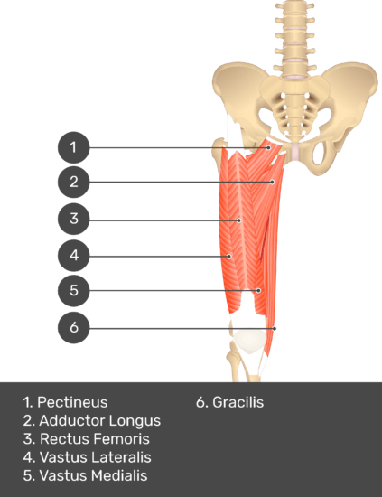 A quiz image of the anterior view of the thigh, pelvis and lower section of the vertebral column. The muscles of the anterior thigh are numbered 1 to 6. The answers revealed at the bottom are as follows 1. Pectineus 2. Adductor Longus 3. Rectus Femoris 4. Vastus Lateralis 5. Vastus Medialis 6. Gracilis.