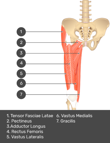 A quiz image of the anterior view of the thigh, pelvis and lower section of the vertebral column. The muscles of the anterior thigh are numbered 1 to 9. The answers revealed at the bottom are as follows 1. Tensor Fasciae Latae 2. Pectineus 3. Adductor Longus 4. Rectus Femoris 5. Vastus Lateralis 6. Vastus Medialis 7. Gracilis.