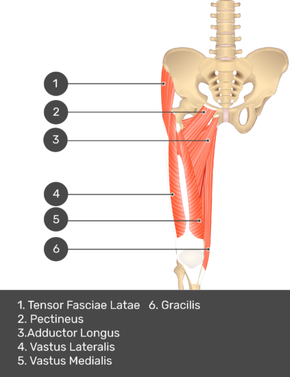 A quiz image of the anterior view of the thigh, pelvis and lower section of the vertebral column. The muscles of the anterior thigh are numbered 1 to 9. The answers revealed at the bottom are as follows 1. Tensor Fasciae Latae 2. Pectineus 3. Adductor Longus 4. Vastus Lateralis 5. Vastus Medialis 6. Gracilis.