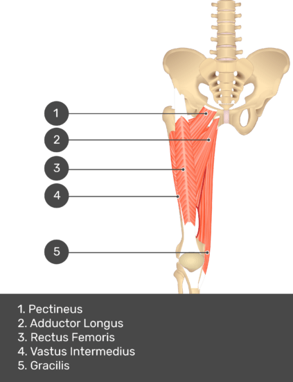 A quiz image of the anterior view of the thigh, pelvis and lower section of the vertebral column. The muscles of the anterior thigh are numbered 1 to 5. The answers revealed at the bottom are as follows 1. Pectineus 2. Adductor Longus 3. Rectus Femoris 4. Vastus Intermedius 5. Gracilis.