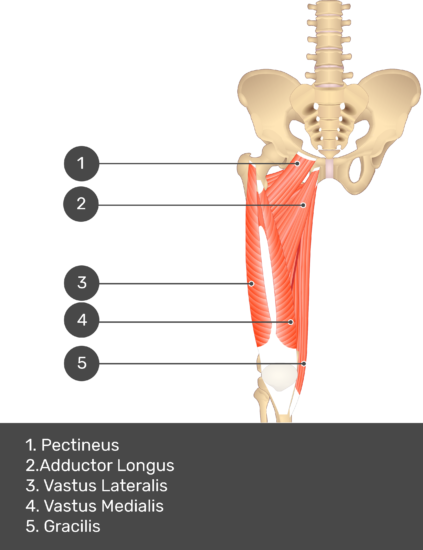 A quiz image of the anterior view of the thigh, pelvis and lower section of the vertebral column. The muscles of the anterior thigh are numbered 1 to 9. The answers revealed at the bottom are as follows 1. Pectineus 2. Adductor Longus 3. Vastus Lateralis 4. Vastus Medialis 5. Gracilis.