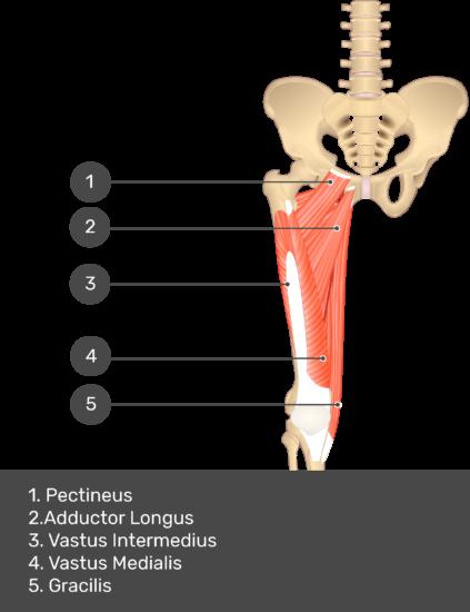 Gracilis Muscle