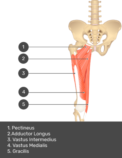 A quiz image of the anterior view of the thigh, pelvis and lower section of the vertebral column. The muscles of the anterior thigh are numbered 1 to 9. The answers revealed at the bottom are as follows 1. Pectineus 2. Adductor Longus 3. Vastus Intermedius 4. Vastus Medialis 5. Gracilis.