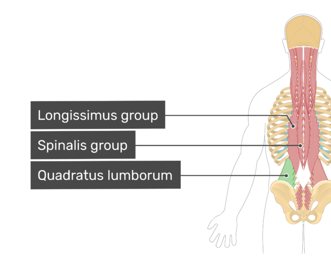 Labelled image of the longissimus, spinalis muscle group, and quadratus lumborum muscle.