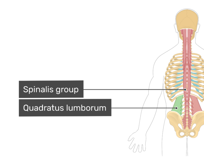 Labelled image of the spinalis muscle group, and quadratus lumborum muscle.