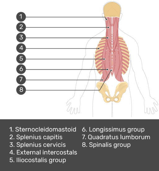 Test yourself image showing answers: Sternocleidomastoid, splenius capitis, splenius cervicis, external intercostals, iliocostalis group, longissimus group, quadratus lumborum, spinalis group