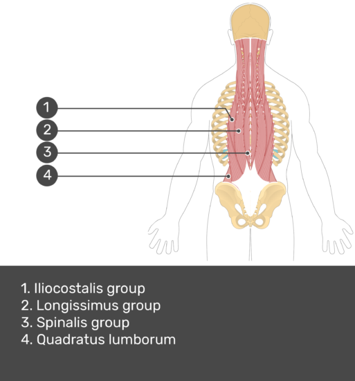 Test yourself image showing answers: Iliocostalis group, Longissimus group, spinalis group, quadratus lumborum