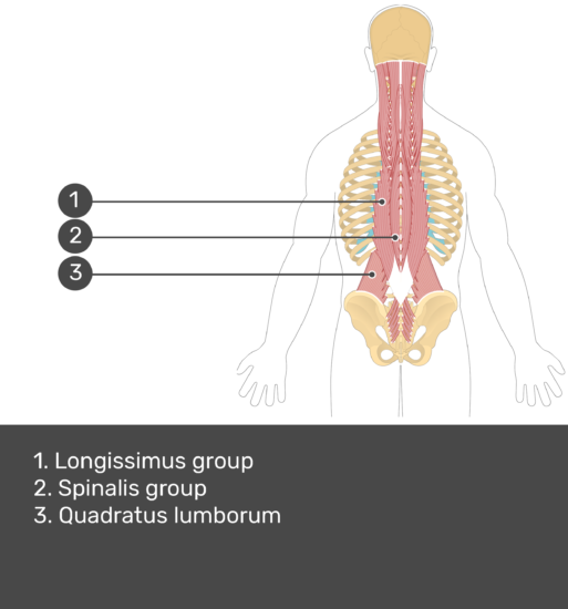 Test yourself image showing answers: Longissimus group, Spinalis group, Quadratus lumborum