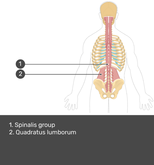 Test yourself image showing answers: Spinalis group, quadratus lumborum