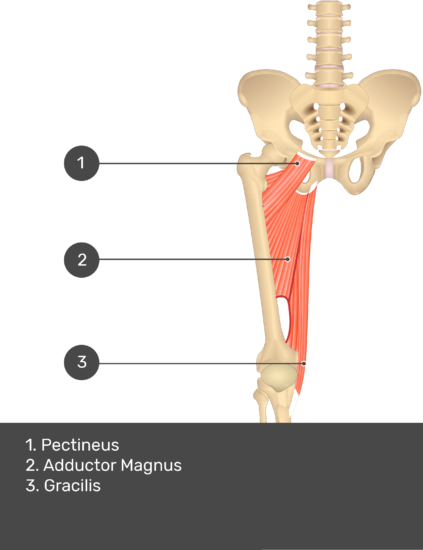 A quiz image of the anterior view of the thigh, pelvis and lower section of the vertebral column. The muscles of the anterior thigh are numbered 1 to 3. The answers revealed at the bottom are as follows 1. Pectineus 2. Adductor Magnus 3. Gracilis.