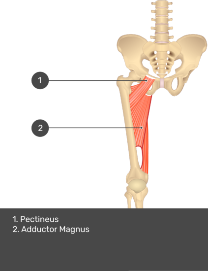 A quiz image of the anterior view of the thigh, pelvis and lower section of the vertebral column. The muscles of the anterior thigh are numbered 1 to 2. The answers revealed at the bottom are as follows 1. Pectineus 2. Adductor Magnus.