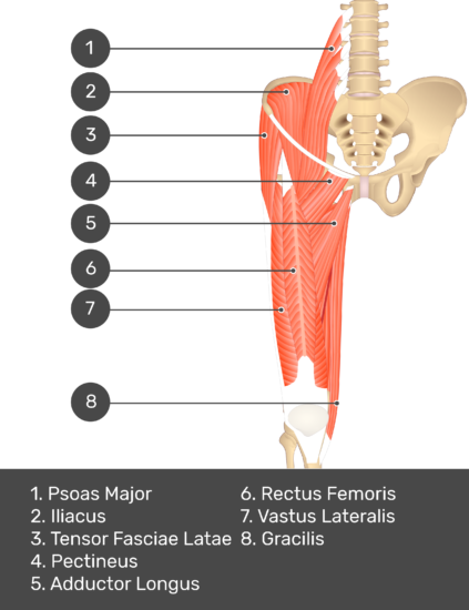 A quiz image of the anterior view of the thigh, pelvis and lower section of the vertebral column. The muscles of the anterior thigh are numbered 1 to 8. The answers revealed at the bottom are as follows 1. Psoas Major 2. Iliacus 3. Tensor Fasciae Latae 4. Pectineus 5. Adductor Longus 6. Rectus Femoris 7. Vastus Lateralis 7. Gracilis.