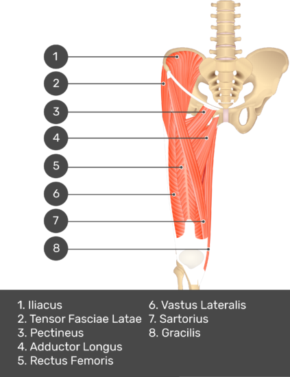 A quiz image of the anterior view of the thigh, pelvis and lower section of the vertebral column. The muscles of the anterior thigh are numbered 1 to 8. The answers revealed at the bottom are as follows 1. Psoas Major 2. Tensor Fasciae Latae 3. Pectineus 4. Adductor Longus 5. Rectus Femoris 6. Vastus Lateralis 7. Sartorius 8. Gracilis.