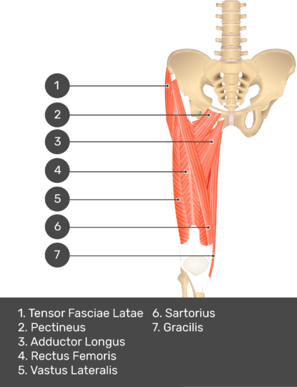 A quiz image of the anterior view of the thigh, pelvis and lower section of the vertebral column. The muscles of the anterior thigh are numbered 1 to . The answers revealed at the bottom are as follows 1. Tensor Fasciae Latae 2. Pectineus 3. Adductor Longus 4. Rectus Femoris 5. Vastus Lateralis 6. Sartorius 7. Gracilis.