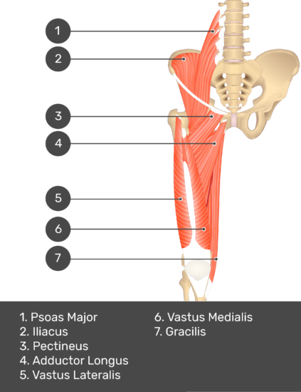 A quiz image of the anterior view of the thigh, pelvis and lower section of the vertebral column. The muscles of the anterior thigh are numbered 1 to 7. The answers revealed at the bottom are as follows 1. Psoas Major 2. Iliacus 3. Pectineus 4. Adductor Longus 5. Vastus Lateralis 6. Vastus Medialis 7. Gracilis.