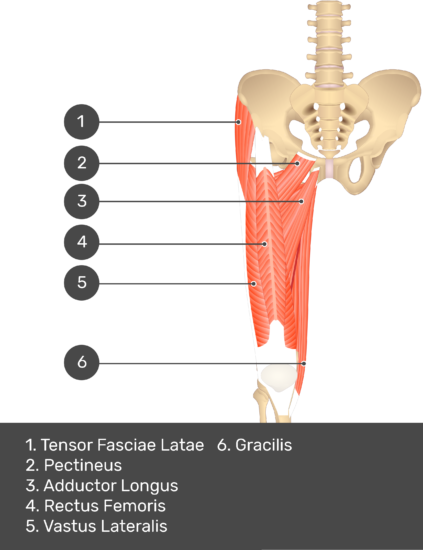 A quiz image of the anterior view of the thigh, pelvis and lower section of the vertebral column. The muscles of the anterior thigh are numbered 1 to 6. The answers revealed at the bottom are as follows 1. Tensor Fasciae Latae 2. Pectineus 3. Adductor Longus 4. Rectus Femoris 5. Vastus Lateralis 6. Gracilis.