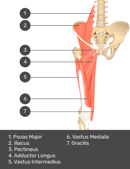 A quiz image of the anterior view of the thigh, pelvis and lower section of the vertebral column. The muscles of the anterior thigh are numbered 1 to 7. The answers revealed at the bottom are as follows 1. Psoas Major 2. Iliacus 3. Pectineus 4. Adductor Longus 5. Vastus Intermedius 6. Vastus Medialis 7. Gracilis.