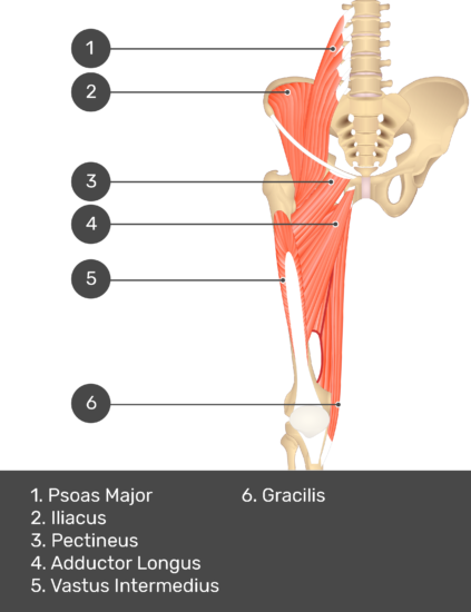 A quiz image of the anterior view of the thigh, pelvis and lower section of the vertebral column. The muscles of the anterior thigh are numbered 1 to 6. The answers revealed at the bottom are as follows 1. Psoas Major 2. Iliacus 3. Pectineus 4. Adductor Longus 5. Vastus Intermedius 6. Gracilis.