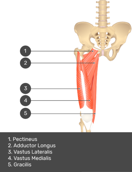 A quiz image of the anterior view of the thigh, pelvis and lower section of the vertebral column. The muscles of the anterior thigh are numbered 1 to 5. The answers revealed at the bottom are as follows 1. Pectineus 2. Adductor Longus 3. Vastus Lateralis 4. Vastus Medialis 5. Gracilis.