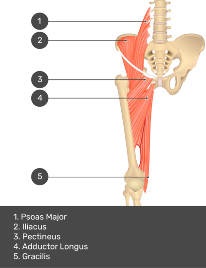 A quiz image of the anterior view of the thigh, pelvis and lower section of the vertebral column. The muscles of the anterior thigh are numbered 1 to 5. The answers revealed at the bottom are as follows 1. Psoas Major 2. Iliacus 3. Pectineus 4. Adductor Longus 5. Gracilis.