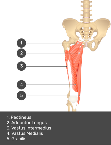 A quiz image of the anterior view of the thigh, pelvis and lower section of the vertebral column. The muscles of the anterior thigh are numbered 1 to 5. The answers revealed at the bottom are as follows 1. Pectineus 2. Adductor Longus 3. Vastus Intermedius 4. Vastus Medialis 5. Gracilis.