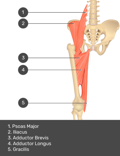 A quiz image of the anterior view of the thigh, pelvis and lower section of the vertebral column. The muscles of the anterior thigh are numbered 1 to 5. The answers revealed at the bottom are as follows 1. Psoas Major 2. Iliacus 3. Adductor Brevis 4. Adductor Longus 5. Gracilis.
