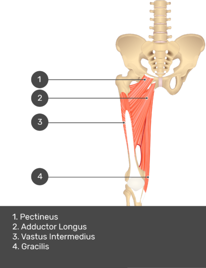 A quiz image of the anterior view of the thigh, pelvis and lower section of the vertebral column. The muscles of the anterior thigh are numbered 1 to 4. The answers revealed at the bottom are as follows 1. Pectineus 2. Adductor Longus 3. Vastus Intermedius 4. Gracilis.