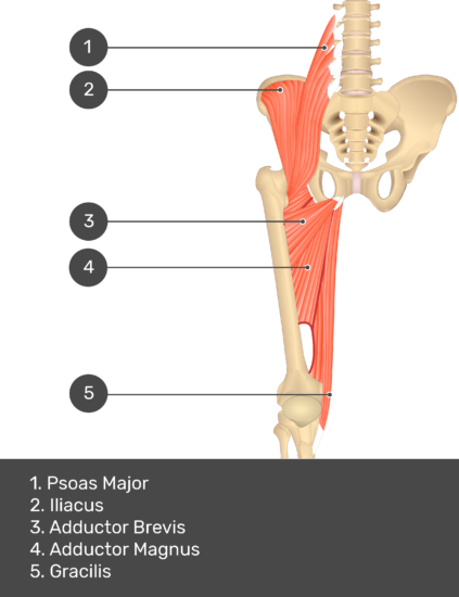 A quiz image of the anterior view of the thigh, pelvis and lower section of the vertebral column. The muscles of the anterior thigh are numbered 1 to 5. The answers revealed at the bottom are as follows 1. Psoas Major 2. Iliacus 3. Adductor Brevis 4. Adductor Magnus 5. Gracilis.