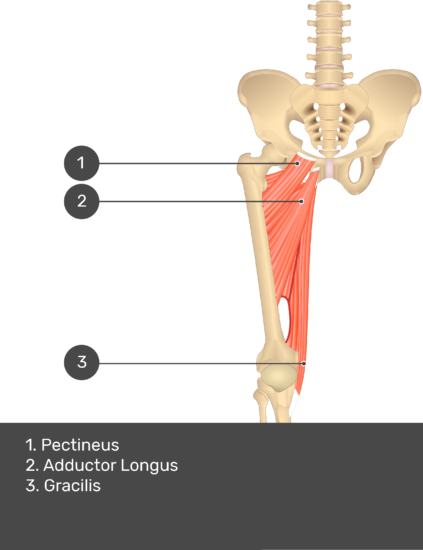 A quiz image of the anterior view of the thigh, pelvis and lower section of the vertebral column. The muscles of the anterior thigh are numbered 1 to 3. The answers revealed at the bottom are as follows 1. Pectineus 2. Adductor Longus 3. Gracilis.