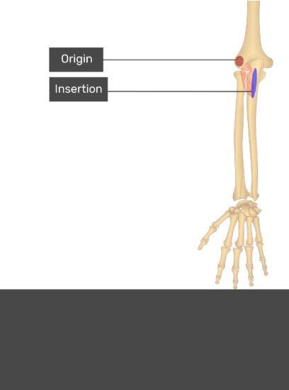 A test yourself image of the dorsal view of the forearm showing the bony elements and the attachments of the Anconeus muscle.