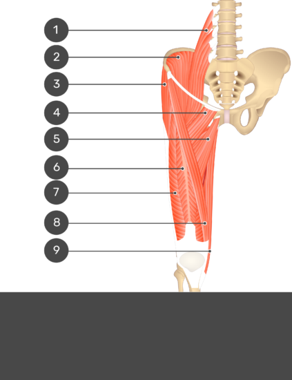 A quiz image of the anterior view of the thigh, pelvis and lower section of the vertebral column. The muscles of the anterior thigh are numbered 1 to 9 and the answers are concealed.