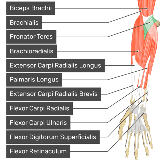 An anterior view of the forearm showing the bony elements and the associated muscles muscles. The visible, labelled muscles are as follows: Biceps Brachii, Brachialis, Pronator Teres (highlighted in green), Brachioradialis, Extensor Carpi Radialis Longus, Palmaris Longus, Extensor Carpi Radialis Brevis, Flexor Carpi Radialis, Flexor Carpi Ulnaris, Flexor Digitorum Superficialis and a transverse carpal ligament at the wrist - Flexor Retinaculum - going over the tendons of most forearm muscles.