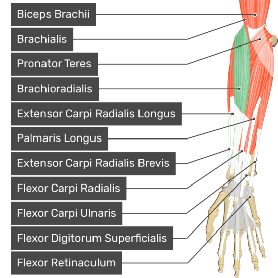 An anterior view of the forearm showing the bony elements and the associated muscles muscles. The visible, labelled muscles are as follows: Biceps Brachii, Brachialis, Pronator Teres, Brachioradialis (highlighted in green), Extensor Carpi Radialis Longus, Palmaris Longus, Extensor Carpi Radialis Brevis, Flexor Carpi Radialis, Flexor Carpi Ulnaris, Flexor Digitorum Superficialis and a transverse carpal ligament at the wrist - Flexor Retinaculum - going over the tendons of most forearm muscles.