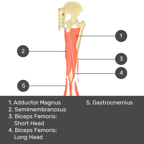 Test yourself image 10, posterior view of thigh and gluteal region. Muscles and structures labelled- adductor magnus, semimembranosus, biceps femoris: short head, biceps femoris: long head, gastrocnemius.