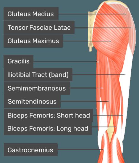 Piriformis - Attachments, Actions & Innervation