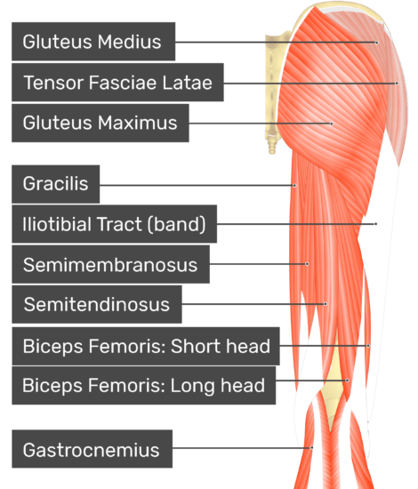 Posterior view of the thigh and gluteal region. Labelled muscles: gluteus medius, tensor fasciae latae, gluteus maximus, gracilis, iliotibial tract (band), semimembranosus, semitendinosus, biceps femoris: short head, biceps femoris: long head, gastrocnemius.