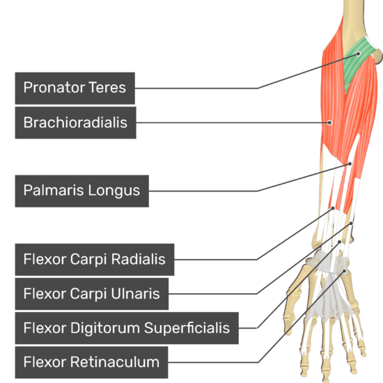 An anterior view of the forearm showing the bony elements and the deeper muscles. The visible, labelled muscles are as follows: Pronator Teres (highlighted in green), Brachioradialis, Palmaris Longus, Flexor Carpi Radialis, Flexor Carpi Ulnaris, Flexor Digitorum Superficialis and a transverse carpal ligament at the wrist - Flexor Retinaculum - going over the tendons of most forearm muscles.