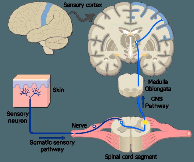 Primary Somatosenory Cortex