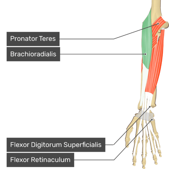 An anterior view of the forearm showing the bony elements and the deeper muscles. The visible, labelled muscles are as follows: Pronator Teres, Brachioradialis, Flexor Digitorum Superficialis and a transverse carpal ligament at the wrist - Flexor Retinaculum - going over the tendons of Flexor Digitorum Superficialis muscle.