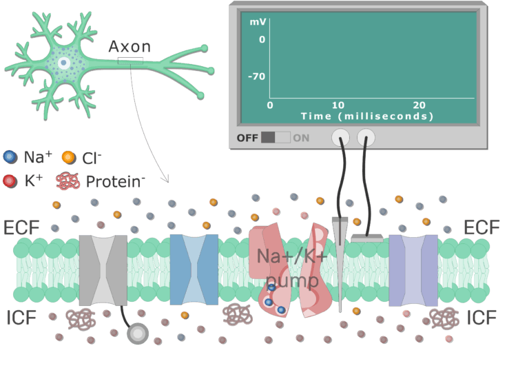 An image showing Na+/K+ ATPase pump working through cell membrane between ICF and ECF, transferring 3Na ions out and 2K ions in per 1 ATP