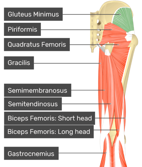 posterior view of the thigh and gluteal region with gluteus minimus highlighted. Labelled muscles: gluteus minimus, piriformis, quadratus femoris, gracilis, semimembranosus, semitendinosus, biceps femoris: short head, biceps femoris: long head, gastrocnemius.
