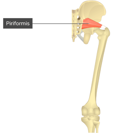 Posterior view of the thigh and gluteal region. Labelled muscle: piriformis