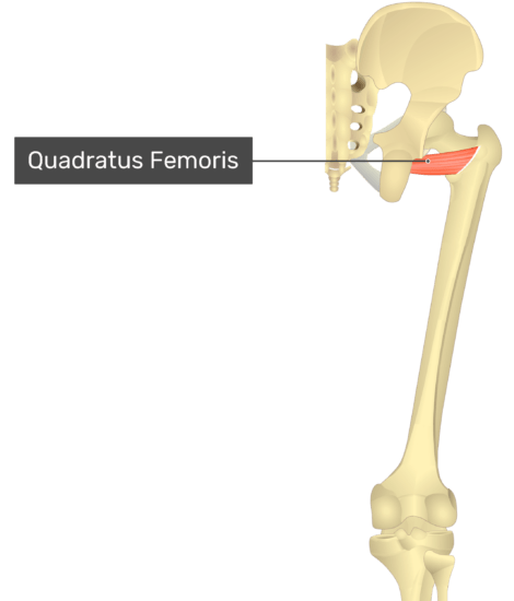 Posterior view of the thigh and gluteal region with quadratus femoris labelled.