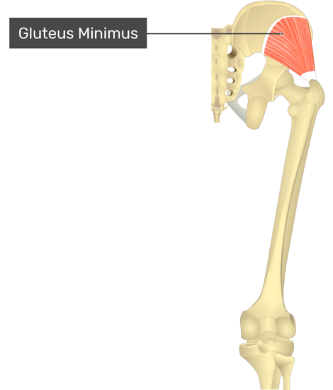 posterior view of the thigh and gluteal region showing only gluteus minimus