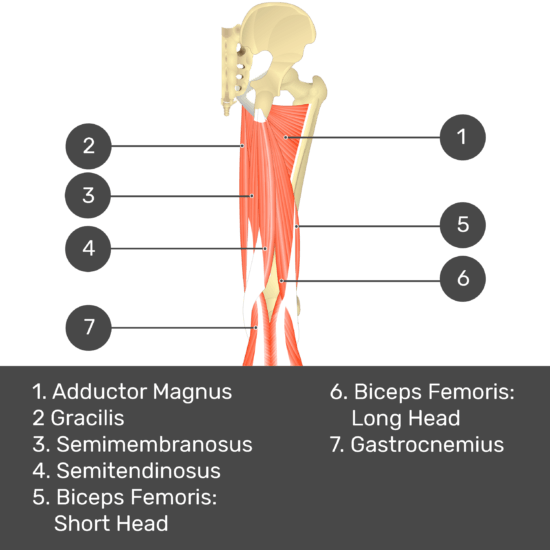 Test yourself image 8, posterior view of thigh and gluteal region. Muscles and structures labelled- adductor magnus, gracilis, semimembranosus, semitendinosus, biceps femoris: short head, biceps femoris: long head, gastrocnemius.